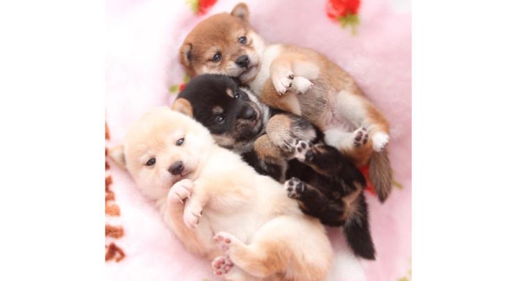 【たっくさん柴犬が見たい方へ♡ 】柴犬のかわいさが つまった魅惑の写真集に、胸がキュンキュンする♪