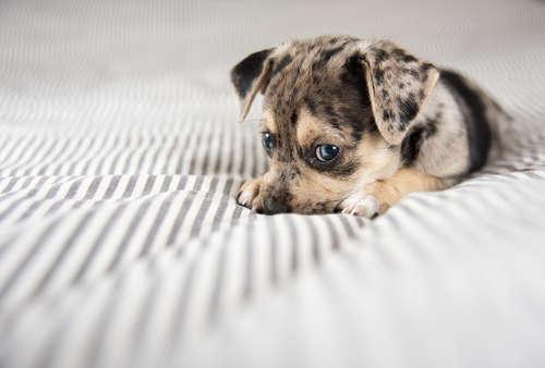 犬がベッドを噛む! 噛み癖がつく理由と、その対策について
