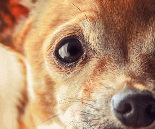 チワワの高齢期は何歳から? 高齢犬の世話についても解説します