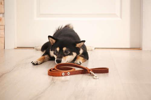 柴犬が散歩に行きたがらない。散歩拒否の理由とは?