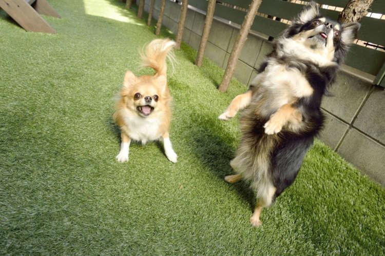"""【もっと知りたいチワワのキモチ】""""うれしい・楽しい・嫌い・怖い""""をどう表現する!? 愛犬サイン"""
