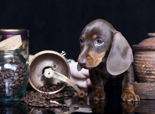 【獣医師監修】犬にコーヒーはNG! コーヒーに潜むカフェイン中毒のリスク