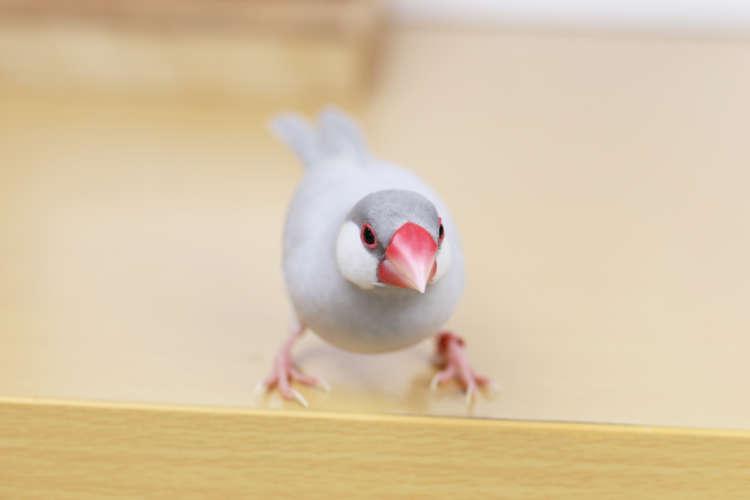 文鳥と暮らしたい! 文鳥の魅力と種類をご紹介