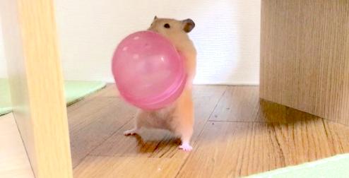 大きなボールを運びたいハムスター! 悪戦苦闘しながらも、頑張る姿がかわいすぎた♡ 58秒