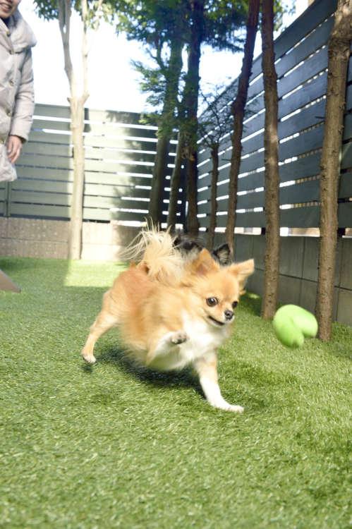 自宅の庭で正英さんに投げてもらったボールで夢中に遊ぶ。ボールに好みがあり、この緑色のボールがリリコのお気に入り。