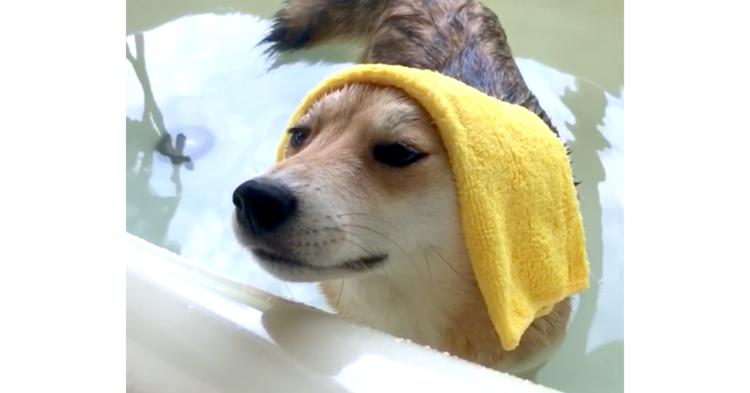 湯船に浸かりご満悦な柴犬。お風呂の魅力を分かっていらっしゃる(*´o`) 42秒