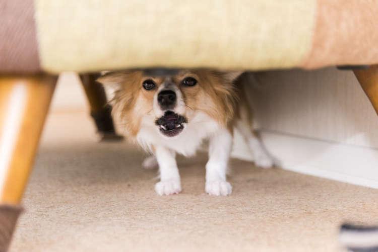 カメラマンが近づくとソファの下へ。普段も散歩に出かける前に洋服を着せようとすると、ソファやテーブルの下へ隠れてしまうのだとか。