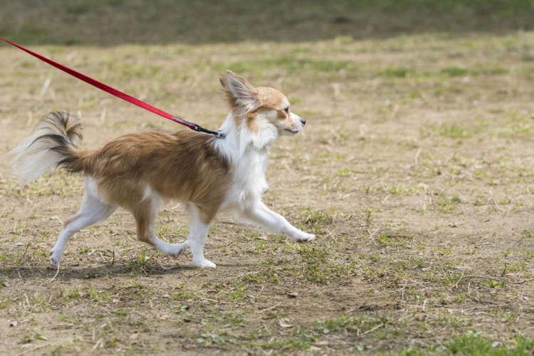 公園で足取りも軽く、楽しそうに歩く。シッポもフリフリ。家の中でもオモチャで遊ぶ時もこんな感じで、目をキラキラさせてはしゃぐ。