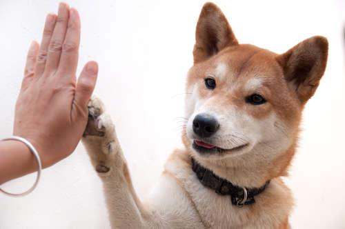 柴犬と暮らしたい。一人暮らしで柴犬を飼うポイントは?
