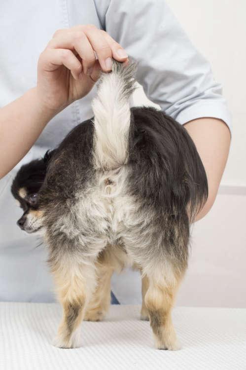 ロングのチワワのお尻やシッポの毛はまるでモップのよう。座った時や散歩中にホコリやゴミが毛につくことも多い。