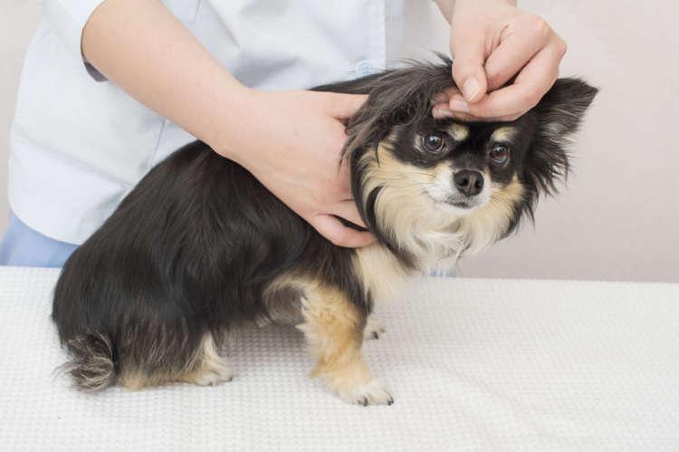 耳の後ろの毛はとても柔らかく、毛玉がよくできやすい。毛玉を取る時に嫌がるコも多いので、こまめにチェックしよう。