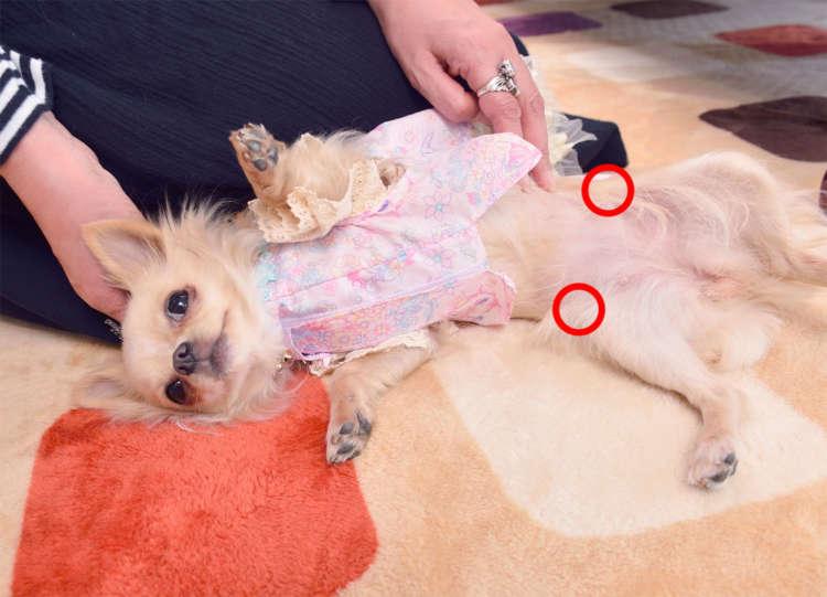 どこに発症するの?  犬の後ろ足にあたる大腿骨の先端部分が大腿骨頭。骨盤と連結し股関節を形成している部分であり後ろ足の付け根あたり。そのため発症すると足にトラブルを起こす。