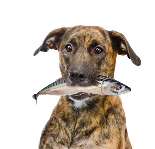 【獣医師監修】犬にサバを与えても大丈夫? 犬にサバを与えるメリットや注意点