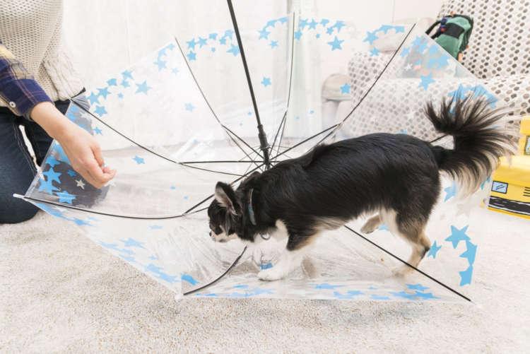 チワワもおだてりゃ傘の上を歩くよ