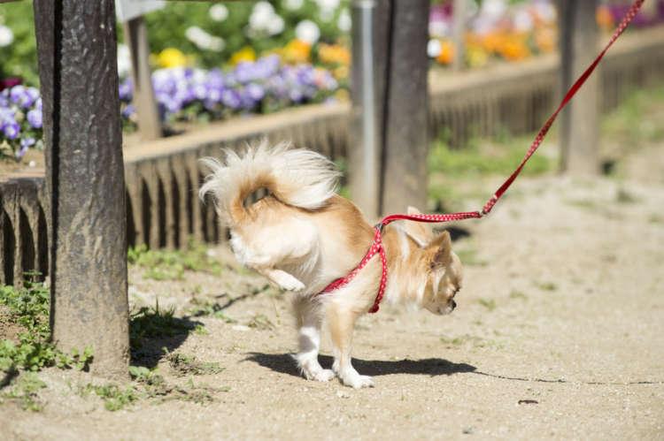 女の子なんだけど、オシッコの時に逆立ちして、より高い所にマーキングしようとする、これぞまさに「犬的ど根性」。