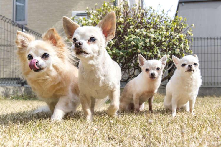 渡邉家のチワワ組さん、全員集合! 右から愛桜、吐愛、優喜之介、愛理のカルテット。みんな仲良しで~す!