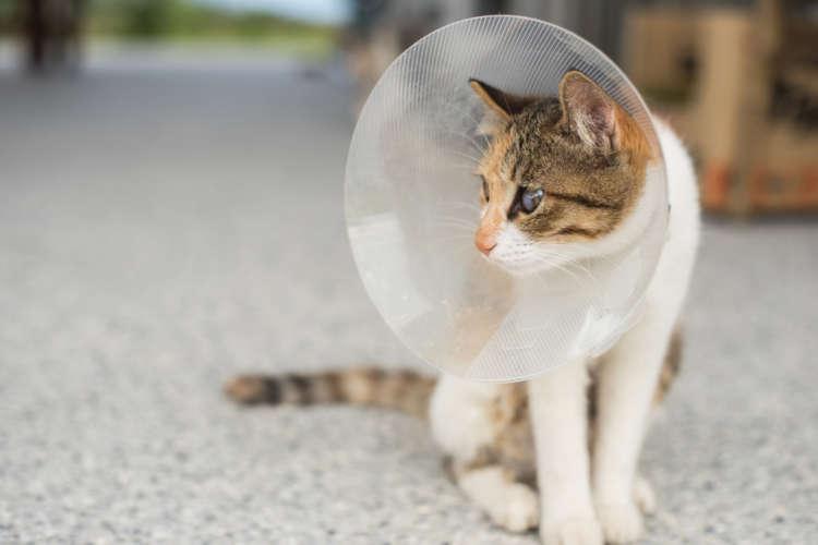 猫がエリザベスカラーを嫌がる! 正しい付け方と嫌がる場合の対処法
