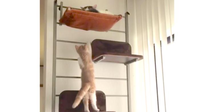 【どうやって登るの?】上にいる兄猫に近づこうと頑張る子猫。あれこれ試行錯誤する様子が…♡ 38秒