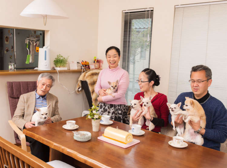 わわっ! チワワがいっぱい~。チワワ組4匹に加え、ご両親の愛犬のダンディ&レディも加わって一家団欒中。チワワ組とチワワペアで渡邉家はいつも賑やかなのです。