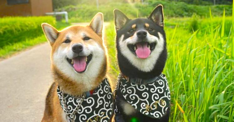 楽しくて笑顔が溢れちゃう! 柴犬姉妹の生き生きとした表情に、ホッコリな10枚♪