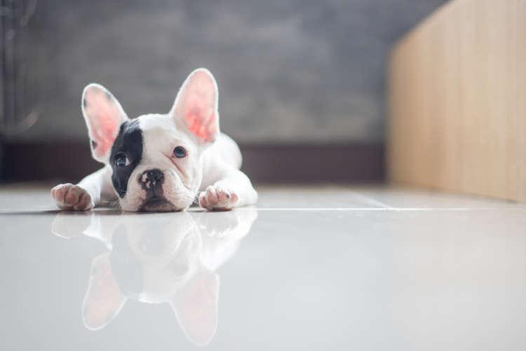 気になる犬のニオイ。フレンチ・ブルドッグの体臭ってどのくらい?