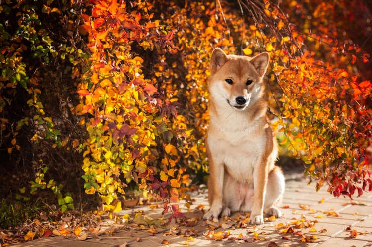 【獣医師監修】柴犬の理想体重はどのくらい? 太ってしまった時のダイエット法