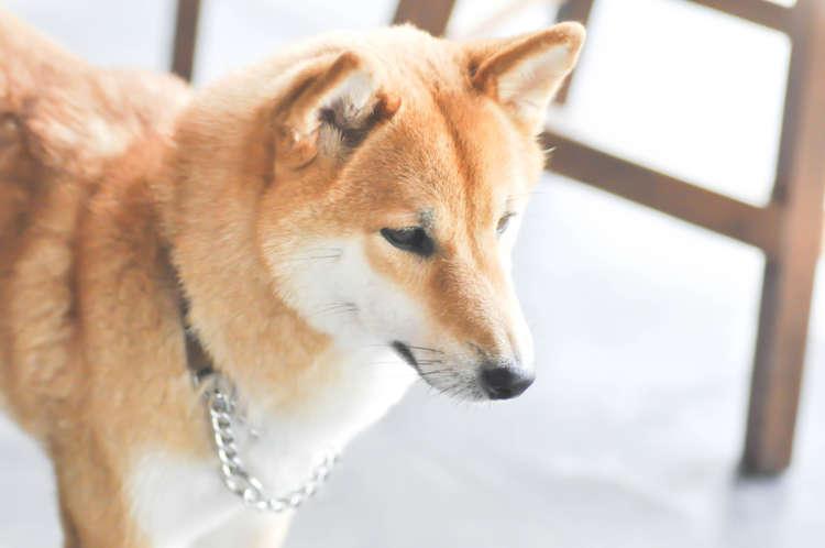 【獣医師監修】柴犬の抜け毛が多い理由と対処法