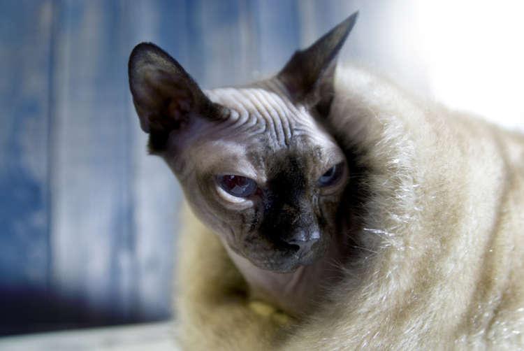 【獣医師監修】スフィンクスと長く暮らすために気をつけたい病気やご飯選び