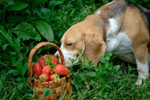 【獣医師監修】犬にいちごを与えても大丈夫? いちごのメリットや注意点