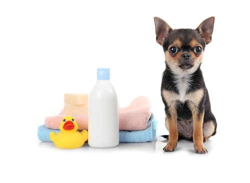 【獣医師監修】チワワを上手にシャンプーするための手順やポイント