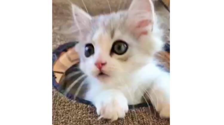 一生懸命にキャットタワーに登ろうとする子猫 → 成功すると、さらに嬉しいことが起きた(*´艸`*)!