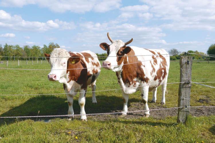呼ぶと近寄ってくる温和な牛たち