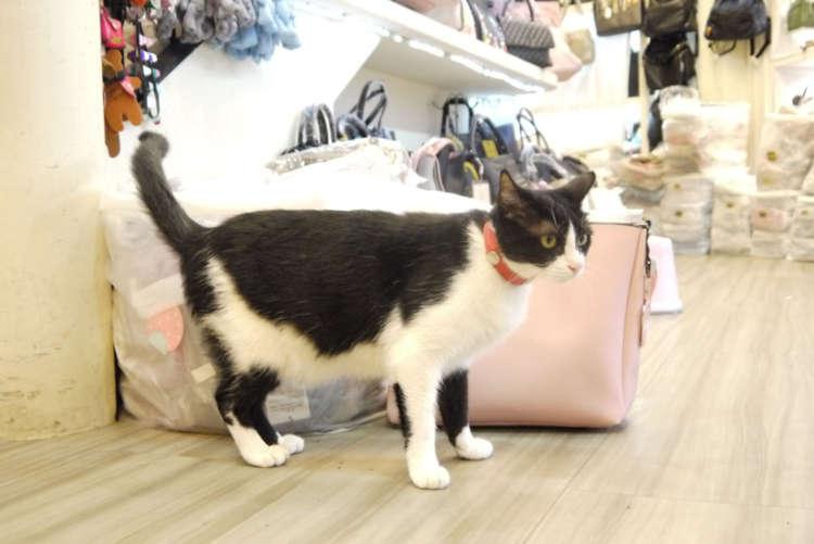 商売繁盛をもたらすイケメン猫【台湾】
