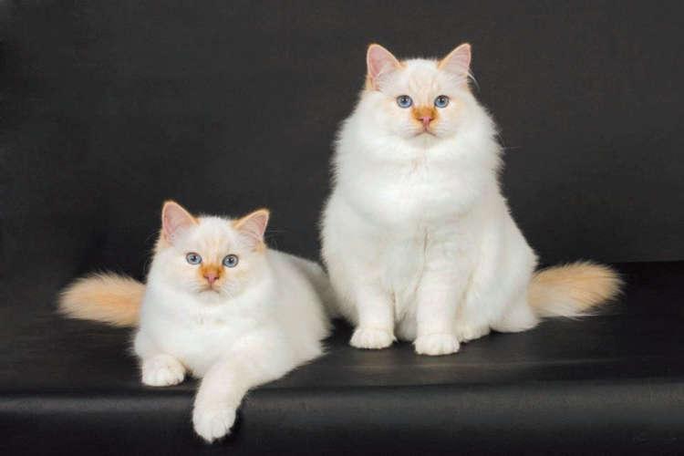 「ビルマの聖なる猫」と呼ばれるバーマン