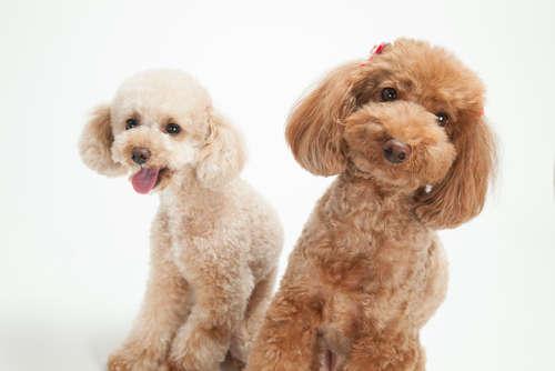 【獣医師監修】トイ・プードルの耳のケア 耳掃除のポイントとかかりやすい病気