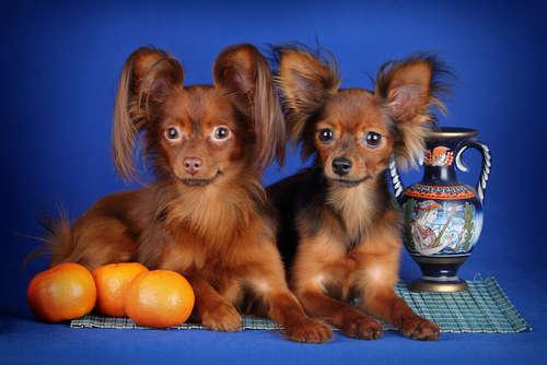 犬にミカンを与えるメリットと注意点