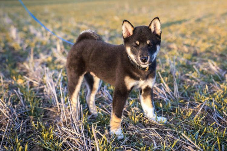 柴犬の仔犬の体重、どのくらいが理想的?