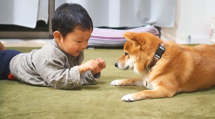 どっちに「おやつ」があるのか、当てたい柴犬。しかし、弟くんの無邪気さに振り回されて…♡