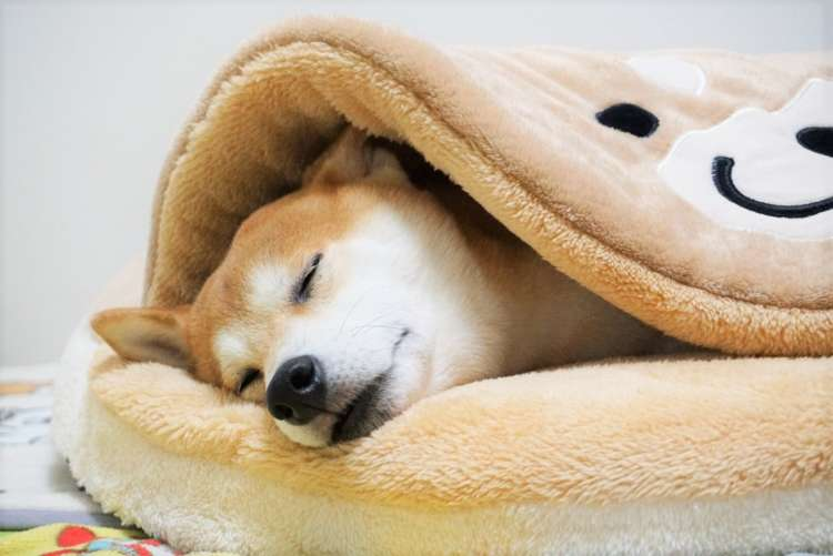 「犬をダメにするクッション」を用意してみた。→ 柴犬がクッションの虜になった証拠写真♡