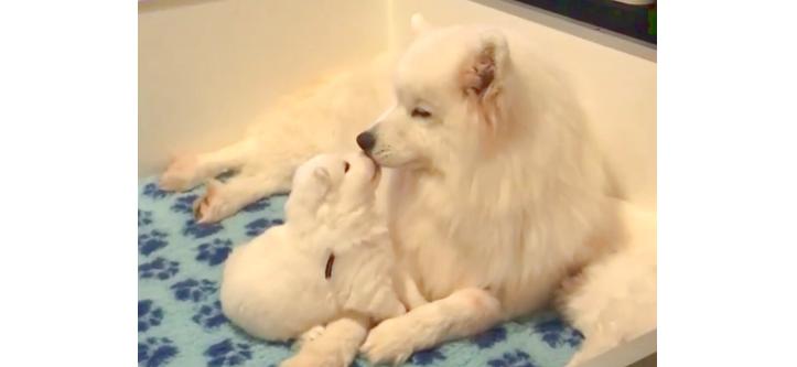 【ママのほっぺを食べたい♡】子犬の無邪気なおねだりに、お母さん犬の反応は…(*´艸`*)