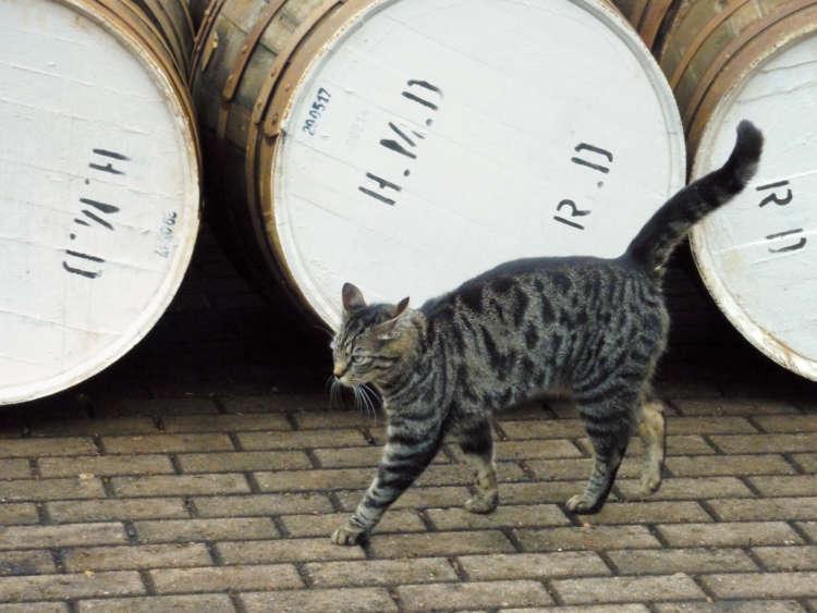 蒸留所の看板猫のうちの1匹、タレット。