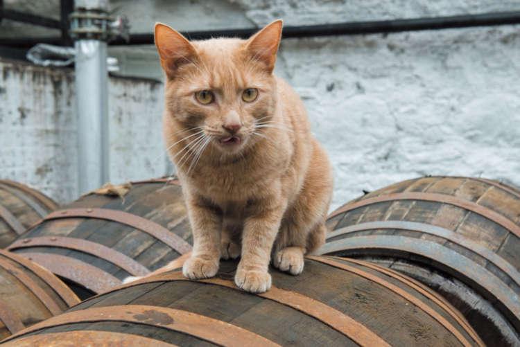 ウイスキーを熟成させる、樽の上も軽々と歩きます