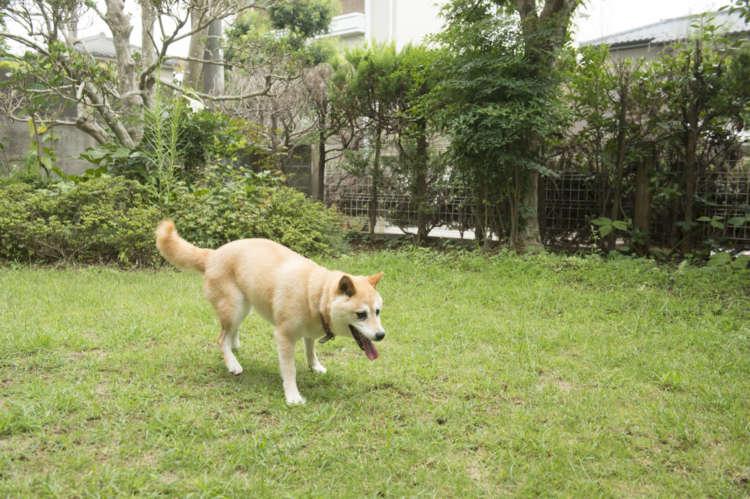 年を取っても適度に体を動かすのは大切なこと。散歩後、マイドッグラン状態の庭先で猛ダッシュしたり、穴掘りをしたり自由きままに遊ぶまめ。