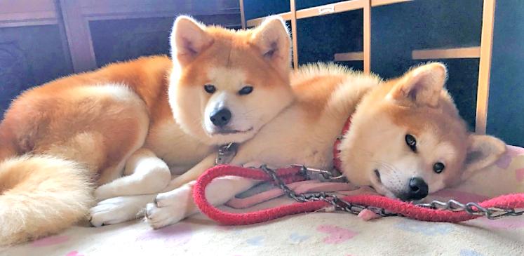 【ぬくぬくな秋田犬兄弟♪】仲良しすぎて、いつでもピッタリな2匹。密着した日常にほっこり…♡