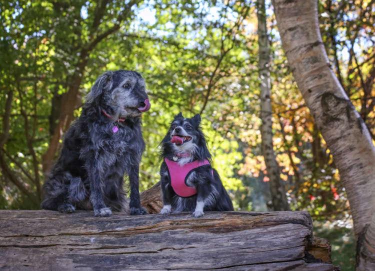 犬のハーネスの用途やメリット、選び方や注意点など