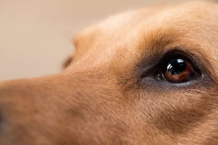 犬の眼が赤い時に考えられる病気とケアの方法