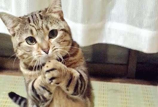 【お願いニャ♡】両手を合わせて、じっと見つめてくるニャンコ。その可愛さに悶絶です(*´艸`*)♡