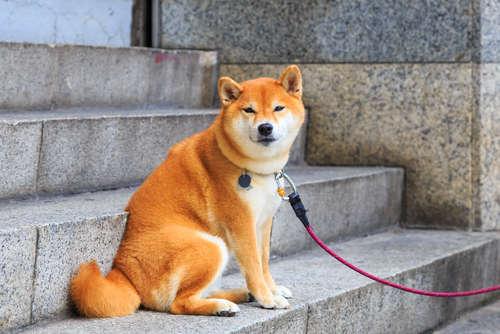 柴犬の散歩、首輪とハーネスのどちらがおすすめ?