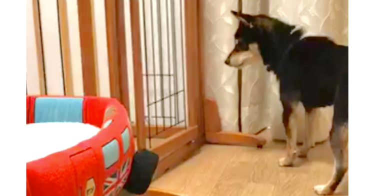 投げたおもちゃがケージの中に入っちゃった → この後、柴犬のとった行動が『お見事』だった!