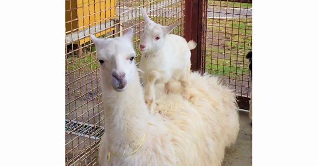 ラマの背中の上にのって、大はしゃぎ! 子ヤギの「ぴょこぴょこダンス」が可愛すぎた♡ 49秒